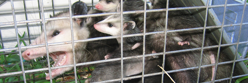 What is a opossum's mating habits, when do they have babies, how do